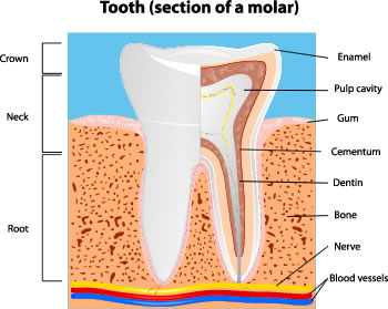 Tooth section of a molar